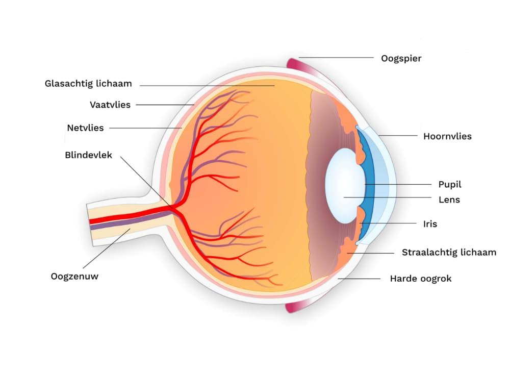 Hoe een oog in elkaar zit